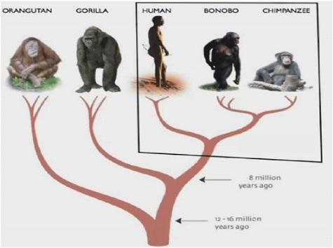 Bonobotree 475