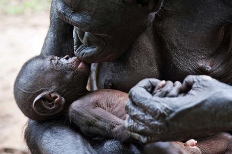Bonobo kiss-baby 475